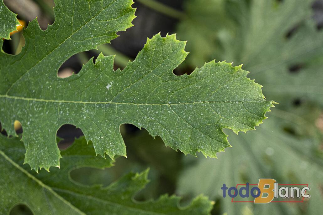 Hoja de planta de calabacín manifestando claras consecuencias de exceso de sales en suelo. Hoja de buen color verde, con los bordes quemados y amarillentos.